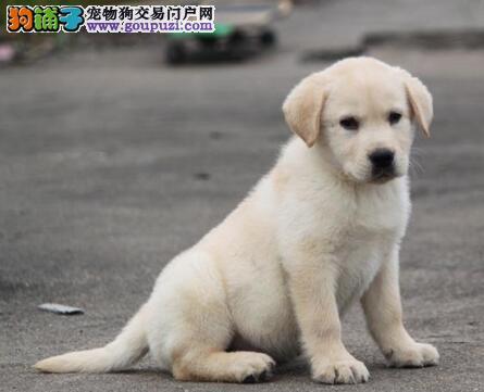 南通繁殖基地直销出售大骨架的拉布拉多犬 非诚勿扰