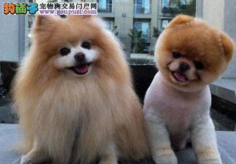 纯种博美犬幼崽,专业繁殖包质量,质保全国送货