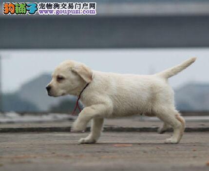 赛级拉布拉多幼犬、CKU认证绝对保障、当天付款包邮