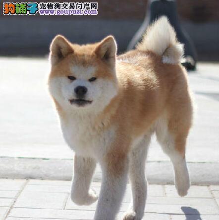 精品赛级秋田犬、公母都有纯种健康、签订正规合同