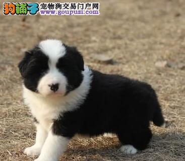 正规犬舍促销许昌阿拉斯加雪橇犬包养活带证书