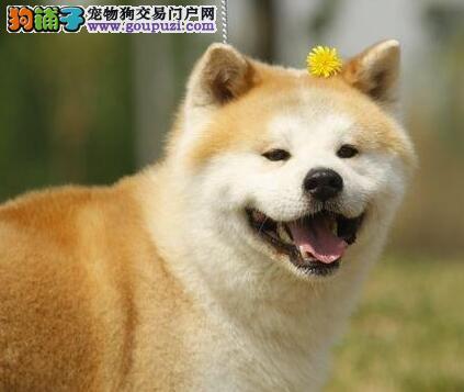 实体店低价促销赛级秋田犬幼犬优质服务终身售后