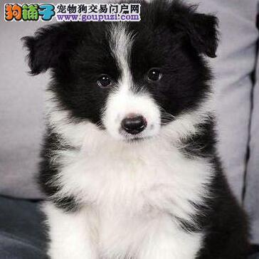 纯种边牧幼犬, 有纯种证书 保证纯种