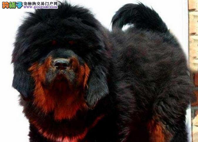 广州哪里有出售纯种健康的藏獒幼崽 藏獒的价格多少