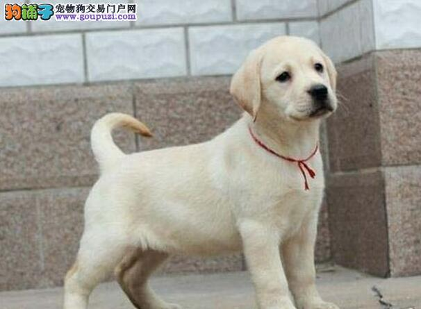 赛级品相青岛拉布拉多幼犬低价出售包养活送用品