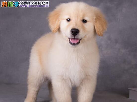 金黄色的南京金毛犬求好心人收留 喜欢的朋友不要错过