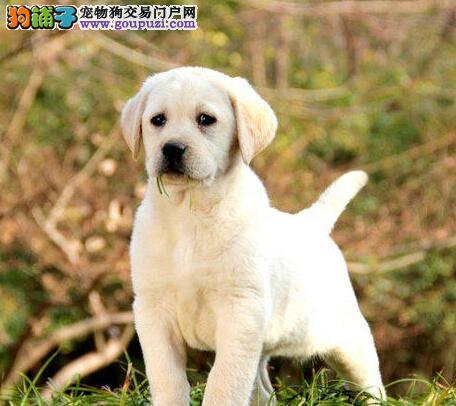 吉林繁殖基地出售大骨架拉布拉多犬 高品质品相好