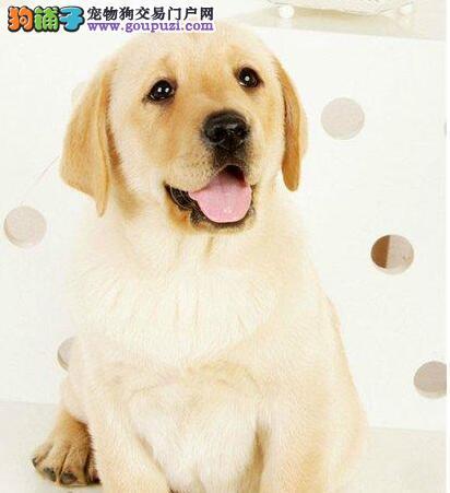出售骨骼健硕身体健康的拉布拉多犬 南宁周边免费送货