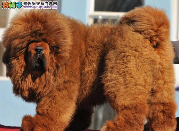 上海出售藏獒上海哪里有卖藏獒犬多少钱