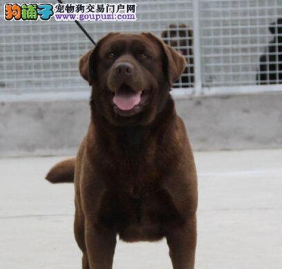 犬舍直销聪明可爱的拉布拉多犬 绍兴市内免费送货