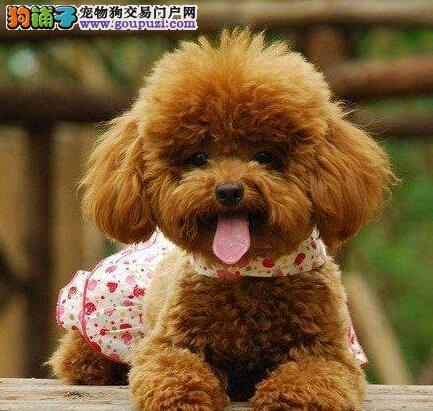 齐齐哈尔基地出售血统纯正健康泰迪犬品相好