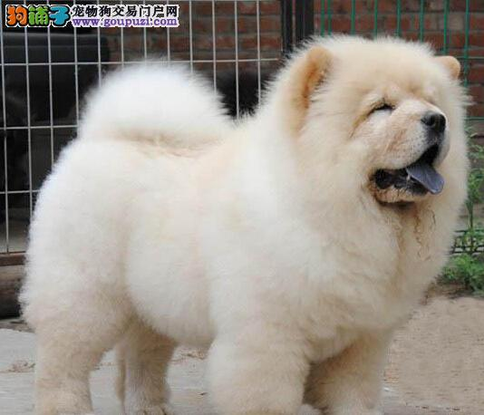 杭州哪里买松狮划算 杭州哪出售纯种松狮犬 松狮买卖