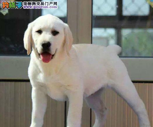 拉布拉多幼崽出售中 纯度第一品质第一 购犬可签协议