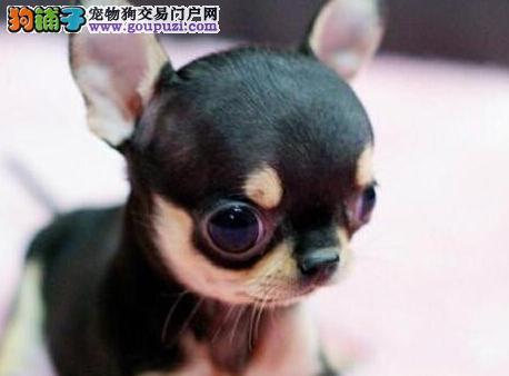 金鱼眼苹果头的吉娃娃幼犬热卖中 贵阳市内免费送货