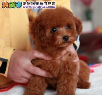东方市出售规贵宾犬 可上门看狗 质量保证 售后服务
