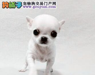 犬舍直销品种纯正健康绵阳吉娃娃品相一流疫苗齐全