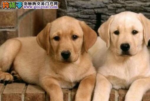 转让优秀乌鲁木齐拉布拉多犬 有兴趣的朋友可以来看看