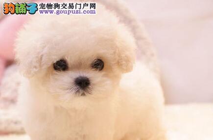 低价出售血统纯正的比熊犬保健康深圳市里有实体店