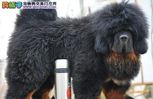 广州出售高品质藏獒 价格绝对优惠 广州哪里有卖