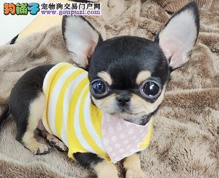 纯种健康的吉娃娃幼犬找新主人 合肥市内免费送货