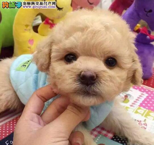 洛阳茶杯小型玩具泰迪熊幼犬低价出售 多窝供您挑选