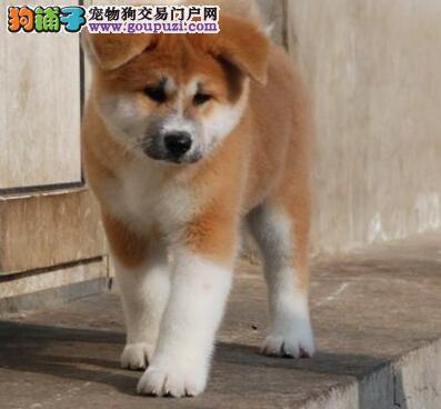 浦东新区黄白花纯种日系秋田犬质保三年低价出售