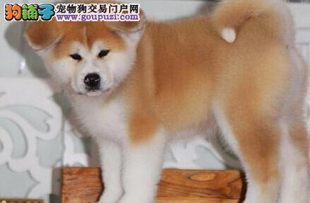 广州哪里有卖秋田犬 广州纯种秋田犬价格多少