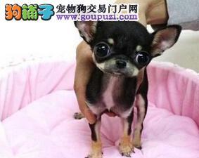出售吉娃娃宝宝 CKU认证绝对保障 提供养狗指导