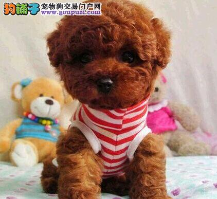 超萌茶杯泰迪犬宝宝 小巧玲珑 珠海狗场多颜色可选择