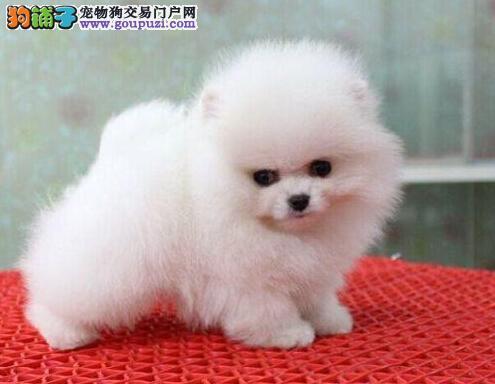 哈多利球形血系的台州博美犬找新家 爱狗任何优先选购