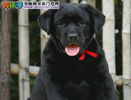 聪明温顺拉布拉多犬幼犬珠海待售 选择安心 养的顺心