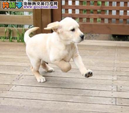纯种合肥拉布拉多犬直销出售 有防疫证明身体健康