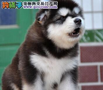 阿拉斯加犬最大的正规犬舍完美售后价格特优惠哦