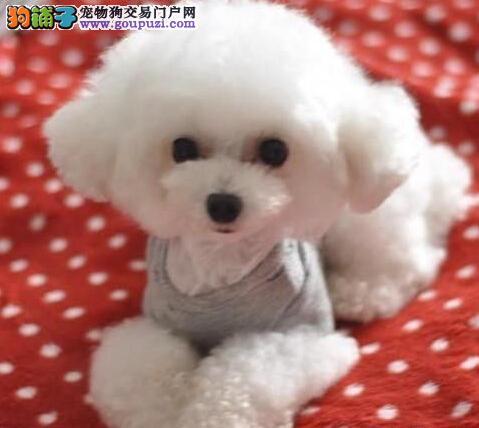 顶级精品贵宾幼犬天津热卖 颜色全数量多 聪明伶俐