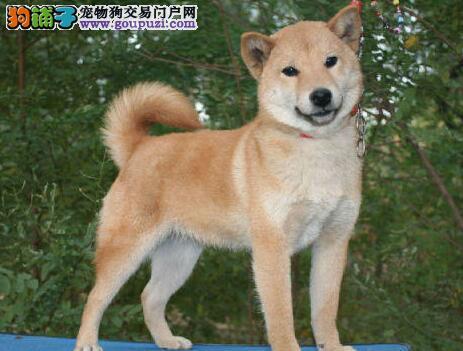 出售高品质的广州秋田犬 十年信誉诚信担保 请放心选购