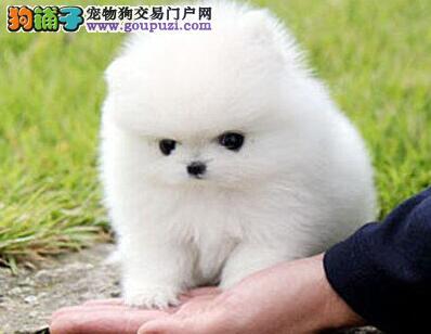 哈多利球体博美犬 超低价 春节回馈 三月质保