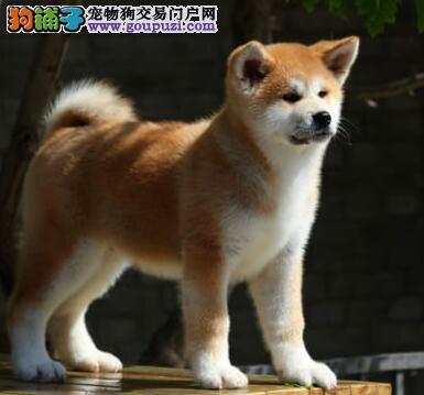 品相完美的南宁秋田犬找新主人 质量三包完美售后