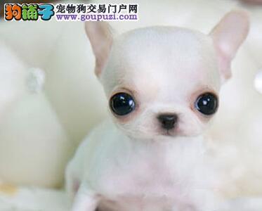 极品纯正的吉娃娃幼犬热销中品质优良诚信为本
