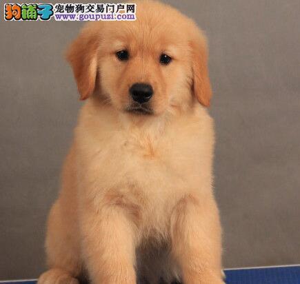出售优秀纯种精品金毛犬 武汉地区最低价多地包邮