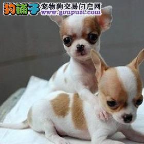 成都出售吉娃娃幼犬 成都哪里出售吉娃娃幼犬 包健康