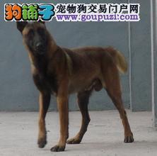 成都哪里出售马犬 成都出售纯种马犬 比利时马犬