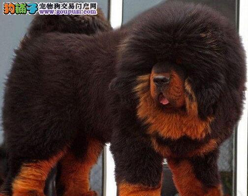 藏獒广东CKU认证犬舍自繁自销可以送货上门