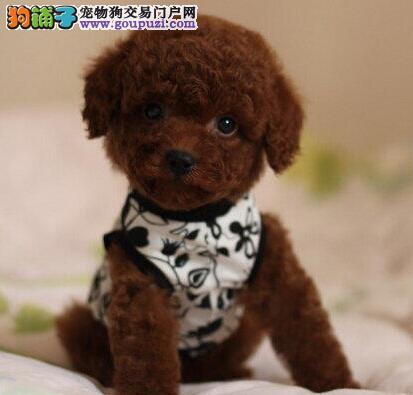 亳州大型犬舍低价热卖极品泰迪犬质保协议疫苗驱虫齐全