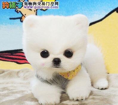 直销纯种哈多利版博美犬 保证健康公母都有北京最低价