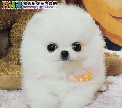 桂林基地对外出售多只小博美犬 诚信为本 价格公道