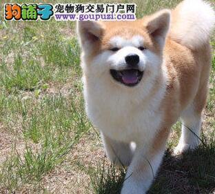 自家繁殖的东莞秋田犬找爸爸妈妈 不纯种不要一分钱