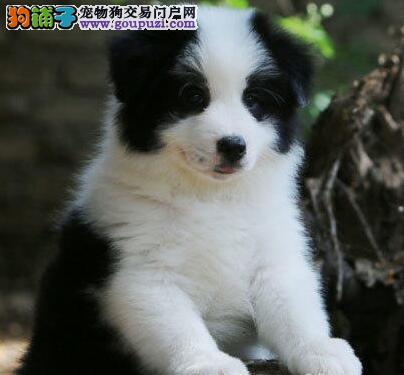 北京本地犬舍热销出售边境牧羊犬 七白到位品质高