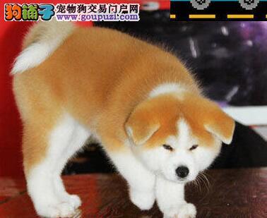 刚出窝的日系血统秋田犬找新主人 厦门市内免费送货