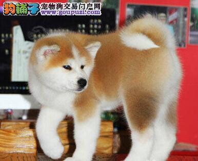 大连最大的培育中心出售日系秋田犬 签订合法销售协议