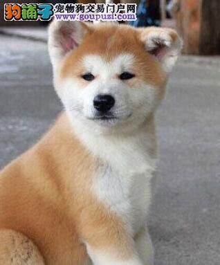 自家犬舍繁育直销纯种北京秋田犬 多只可选品质优秀